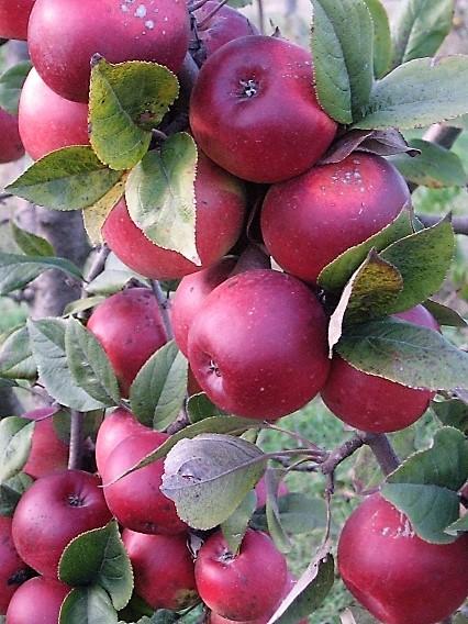 Sadnice jabuka - Rasadnik Čolić