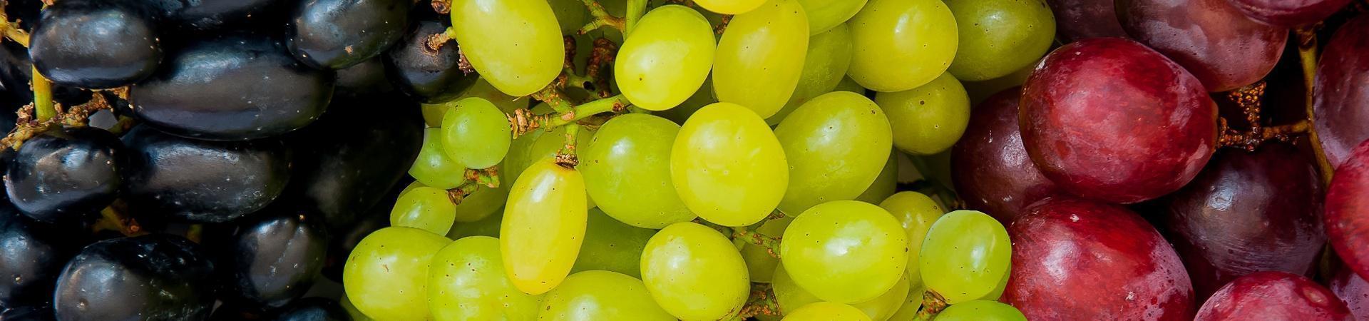 Sadnice vinova loza sorte crne bele stone vinske