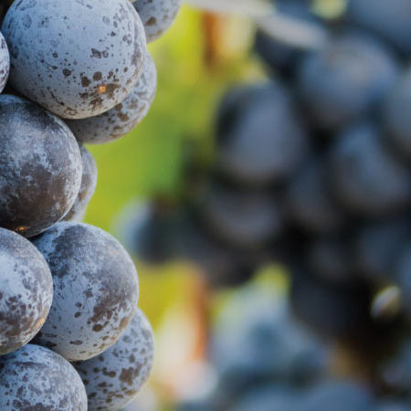 Sadnice vinova loza