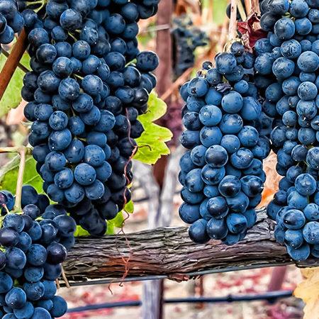 Sadnice vinova loza hibridne sorte