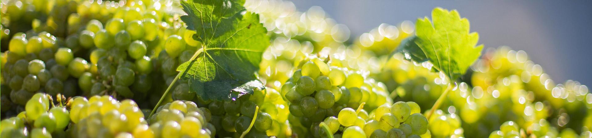 Sadnice vinova loza vinske bele sorte