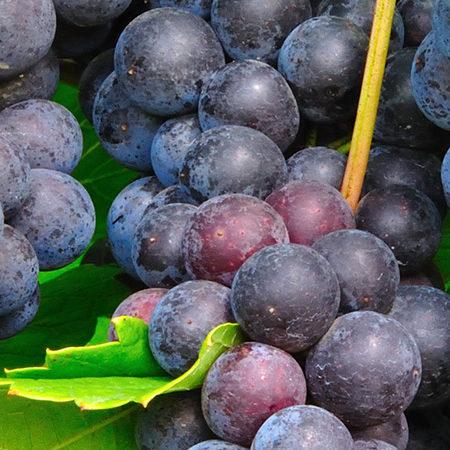 Sadnice vinova loza vinske crne sorte